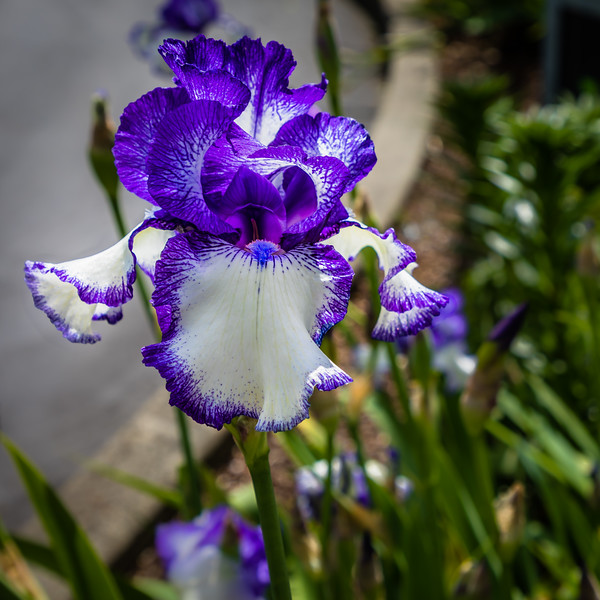 love the light on the inside of this iris :)