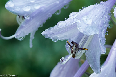 Hosta flower after the sprinklers had bathed it.