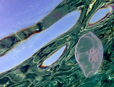 Jellyfish III
