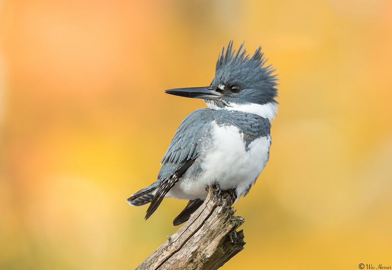 October Male Belted Kingfisher