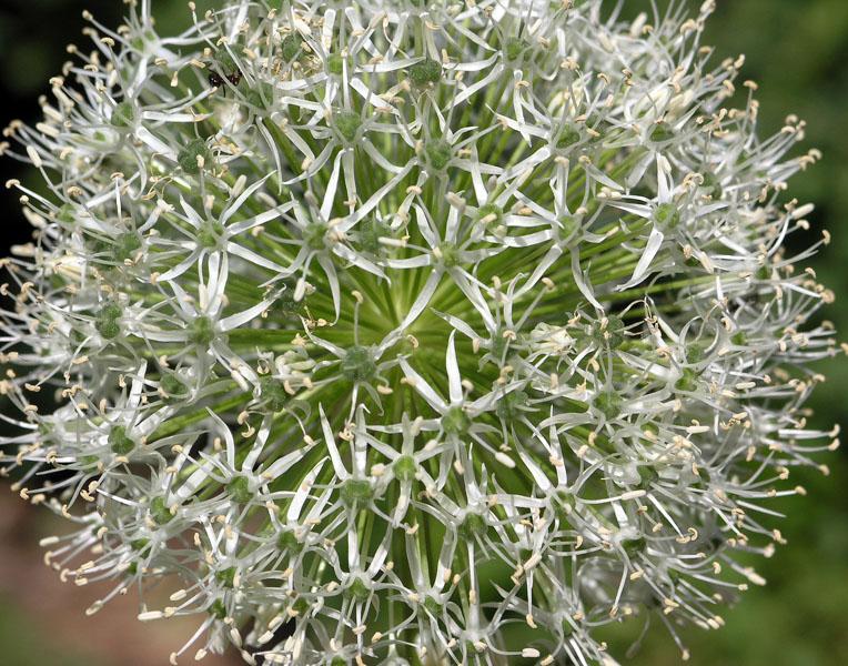 No. 18: White Allium.