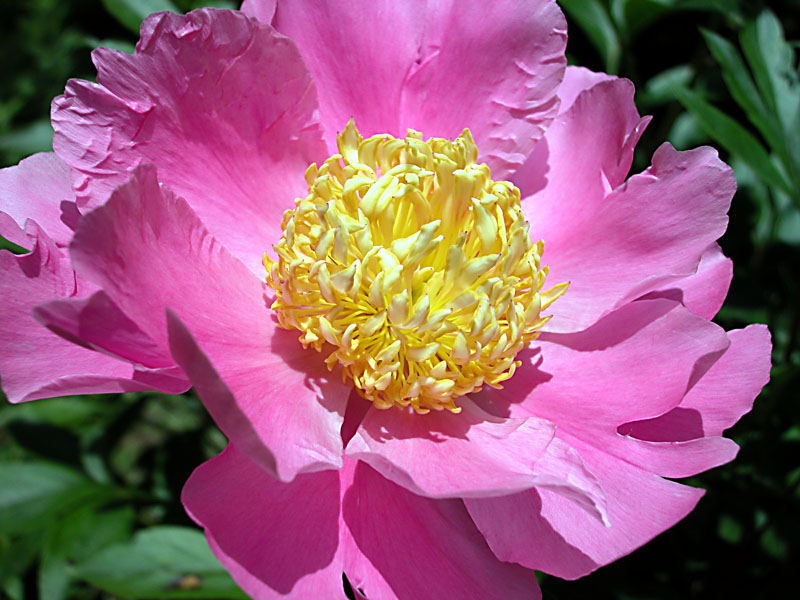 No. 14: Peony series: medium pink with yellow stamen.