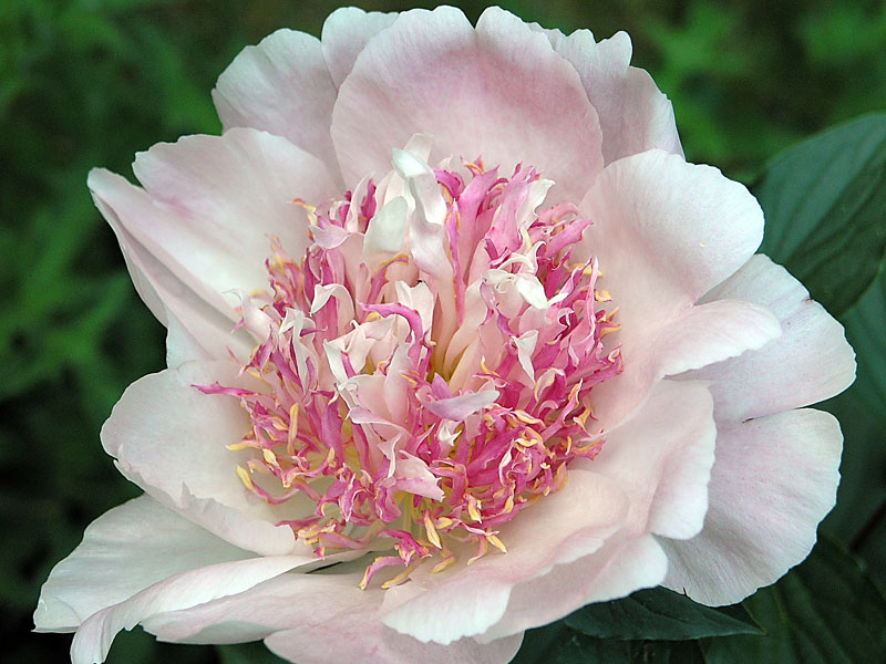 No. 11: Peony series - palest pink with mixed pink staminoids.