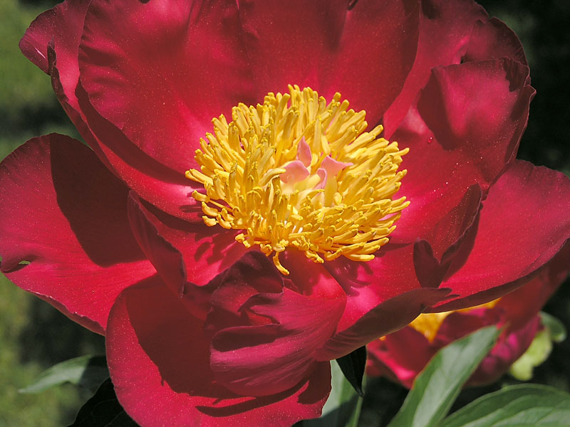 No. 9: Peony series - red with yellow staminoids.
