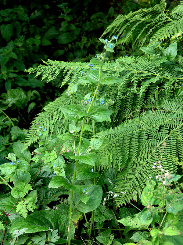 No. 3: Belsay Castle Quarry Gardens, Northumberland, England - Fern and Brunnera.
