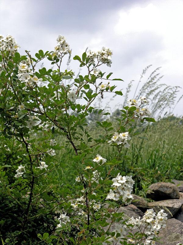 No. 19: Wild Multiflora rose at the Grange.
