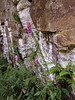 No. 2: Belsay Castle Quarry Gardens, Northumberland, England - Rock and Foxgloves.
