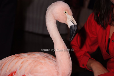 """Pinky"" - Chilean Flamingo"