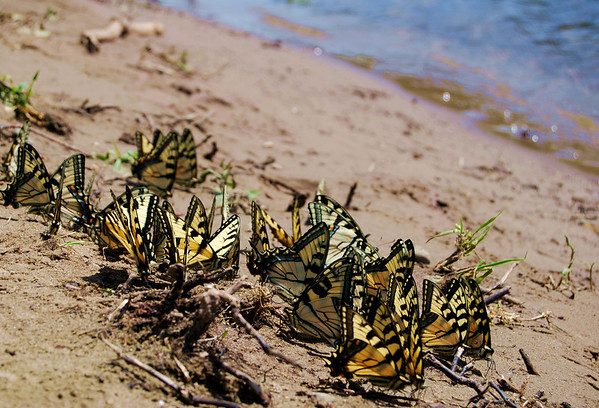 "A cluster of Yellow Swallowtail gathering along the banks of the Delaware River for their breeding season a few short weeks before people gathered to ""Light up the Delaware River"" and raise awareness about the gas drilling that will  contaminate the local water shed and the river.  Copyright®Nyssa Calkin of Diamond Cut Images"
