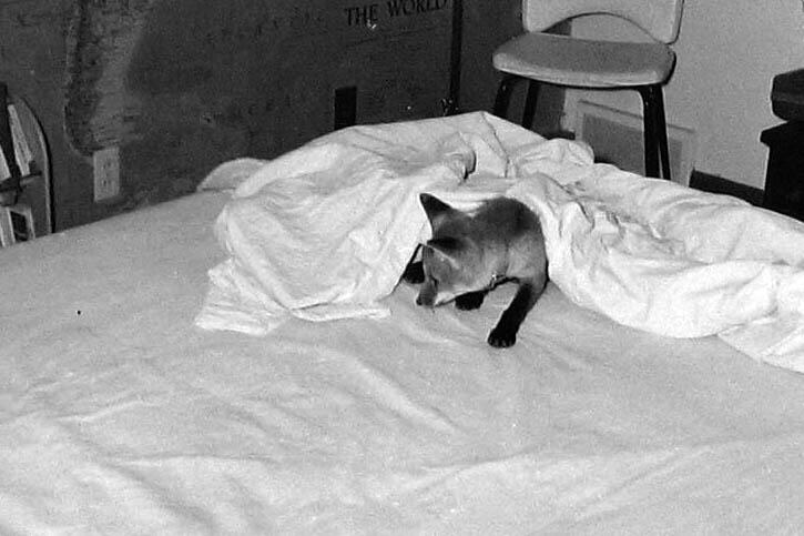 fox in bed 3