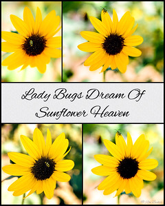 Lady Bugs Dream Of Sunflower Heaven