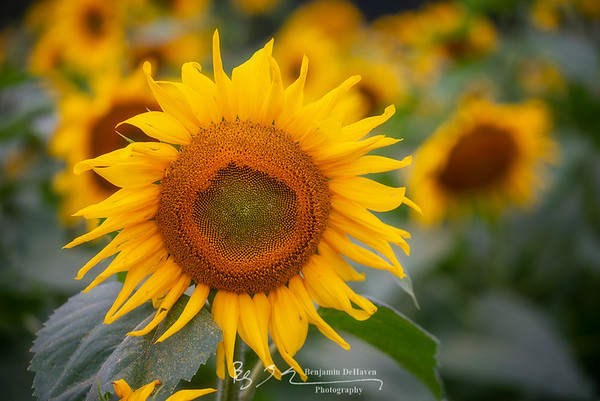 Layers Of Sunflowers