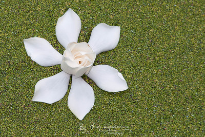 Gardenia On Duckweed