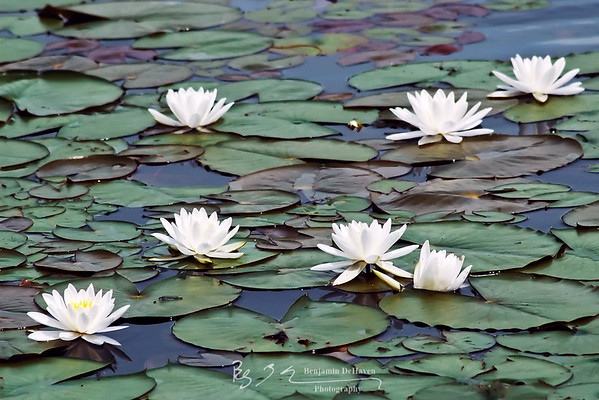 Impressionistic Waterlilies