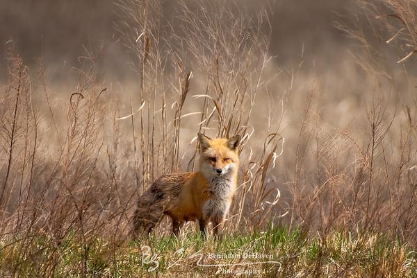 Blackwater Fox