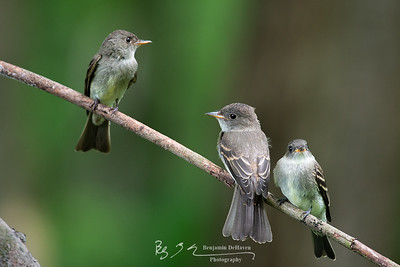 Family Of Flycatchers