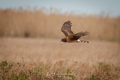 Northern Harrier I