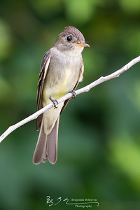Big-eyed Flycatcher