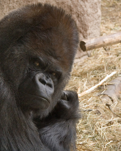 <i>Intense Gorilla</i> Woodland Park Zoo, June 2005