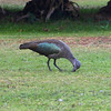 2016-09-24 Benson Tanzania Africa (Sat) Arusha - Legendary Lodge - Ibis on lawn digging