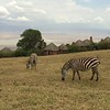 2016-10-03 Benson Tanzania Africa (Mon) Safari Day 09 Ngorongoro Crater - View of the crater from the room w Zebras inside Lodge grounds