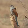 2016-10-03 Benson Tanzania Africa (Mon) Safari Day 09 Ngorongoro Crater - Bird on acacia thorny perch