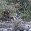 2016-10-03 Benson Tanzania Africa (Mon) Safari Day 09 Ngorongoro Crater - Egret landed with fish in beak