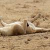 2016-10-04 Benson Tanzania Africa (Tue) Safari Ngorongoro Crater - Female Lion lying on back