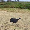 2016-10-04 Benson Tanzania Africa (Tue) Safari Ngorongoro Crater - Guinee Fowl