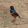 2016-10-04 Benson Tanzania Africa (Tue) Safari Ngorongoro Crater - Starling on the ground