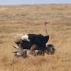 2016-10-04 Benson Tanzania Africa (Tue) Safari Ngorongoro Crater - Ostrich mating 2