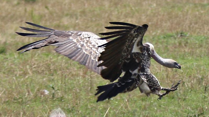 2016-10-07 Benson Tanzania Africa (Fri) Safari Day 13 Serengeti Under Canvas - Vulture landing at kill site