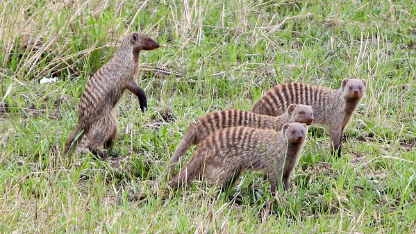 2016-10-07 Benson Tanzania Africa (Fri) Safari Day 13 Serengeti Under Canvas - Mongoose herd on the move clsup