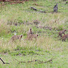2016-10-07 Benson Tanzania Africa (Fri) Safari Day 13 Serengeti Under Canvas - Mongoose herd on the move