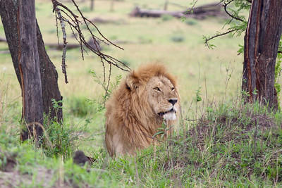 2016-10-07 Benson Tanzania Africa (Fri) Safari Day 13 Serengeti Under Canvas - Lion male looking out from trees