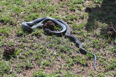 2016-10-09 Benson Tanzania Africa (Sun) Safari Day 15 Serengeti Grumeti - Snake dead