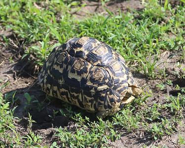 2016-10-09 Benson Tanzania Africa (Sun) Safari Day 15 Serengeti Grumeti - Leopard Tortoise hiding