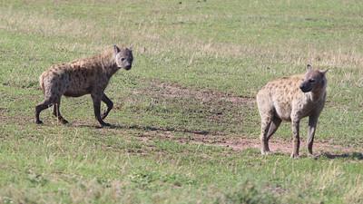 2016-10-09 Benson Tanzania Africa (Sun) Safari Day 15 Serengeti Grumeti - Hyena pair