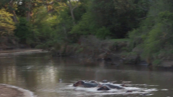 2016-10-09 Benson Tanzania Africa (Sun) Safari Day 15 Serengeti Grumeti - Hippos in river, one emerging