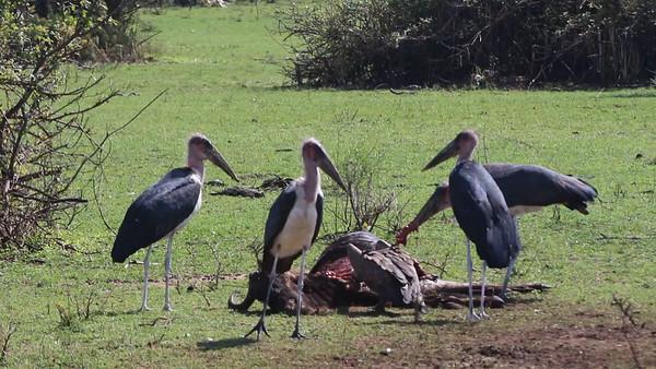 2016-10-09 Benson Tanzania Africa (Sun) Safari Day 15 Serengeti Grumeti - Wildebeeste carcass w Vultures and Maribou Storks video