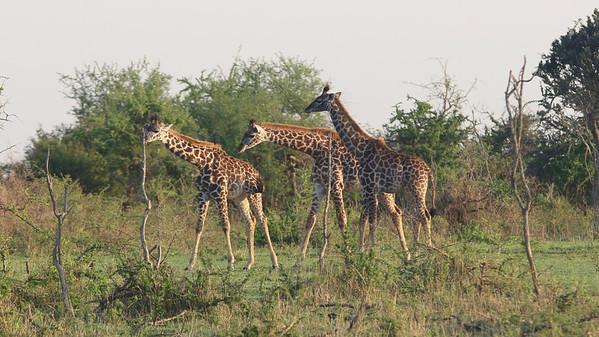 2016-10-09 Benson Tanzania Africa (Sun) Safari Day 15 Serengeti Grumeti - Giraffes (3) w necks down