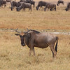 2016-10-03 Benson Tanzania Africa (Mon) Safari Day 09 Ngorongoro Crater - Wildebeest looking at camera