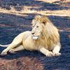 2016-10-03 Benson Tanzania Africa (Mon) Safari Ngorongoro Crater2016-10-03 Benson Tanzania Africa (Mon) Safari Ngorongoro Crater - Male Lion lying down looking right