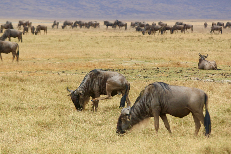 2016-10-03 Benson Tanzania Africa (Mon) Safari Day 09 Ngorongoro Crater - Wildebeest lifting leg