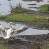 2016-10-03 Benson Tanzania Africa (Mon) Safari Day 09 Ngorongoro Crater - Pelican landing in mud
