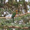 2016-10-03 Benson Tanzania Africa (Mon) Safari Day 09 Ngorongoro Crater - Bee eater