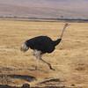 2016-10-03 Benson Tanzania Africa (Mon) Safari Day 09 Ngorongoro Crater - Ostrich strutting