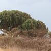 2016-10-03 Benson Tanzania Africa (Mon) Safari Day 09 Ngorongoro Crater - Candelabra Cactus