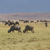 2016-10-03 Benson Tanzania Africa (Mon) Safari Day 09 Ngorongoro Crater - Wildebeest herd
