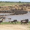 2016-10-06 Benson Tanzania Africa (Thu) Safari Serengeti - Wildebeest crossing Mara River 01
